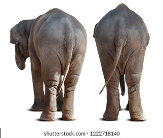 Backside of the couple Asian elephant isolated on white background with clipping path
