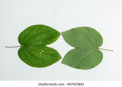 backside and front side of leafs on white background