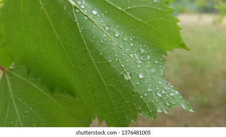Backside of green grapevine leaf closeup with shiny water droplets look like brilliant precious beads. Wet green grape leaf with thin streaks and dewdrops. Summer at vineyard after rain. Rainy weather