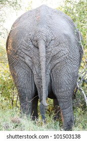 The backside of a massive African elephant bull