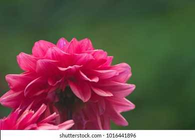 backside of a pink dahlia with stem and blurred green background with space for text