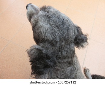 Backside of the poodle head with short hair while sitting, The Poodle, also known as the Caniche and the Pudle