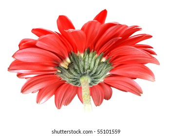 Back-side of red flower isolated on white background. Close-up. Studio photography.