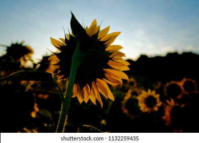 Backside of a sunflower back lit by the rising sun at Dorothea Dix Park in Raleigh North Carolina