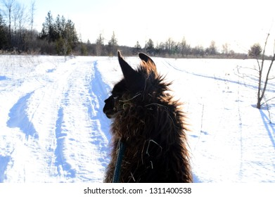 The backside of the view of a Llama walking the winter paths.