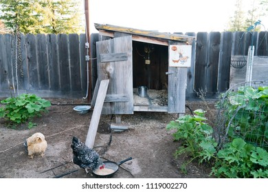 Backyard Chickens eating in chicken run in front of rustic chicken coop