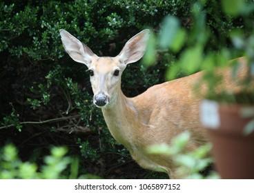 Backyard Deer Visiting