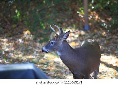 Backyard Deer - Wild deer forages in suburban yard.