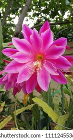 Backyard flowers including pink epiphyllum and yellow. rose