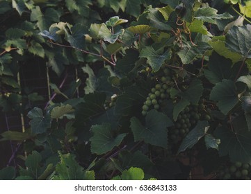 Backyard grapevines with dark green leaves and unripe green grapes