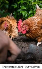 Backyard pet chickens scratching in garden beds
