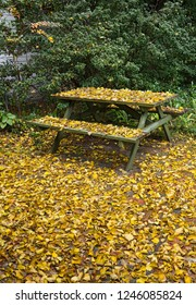 Backyard picnic table and ground blanketed with fallen yellow leaves of Popcorn Tree in fall.