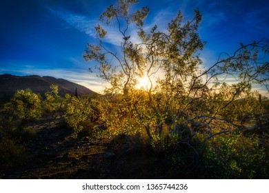 Baclkight Creosote - The rising sun in the Scottsdale, Arizona desert creates a lightship on a creosote bush in full bloom at springtime.