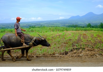 Bacolod City, Philippines - Circa 2016: An unidentified man rides a water buffalo or locally called carabao in a sugarcane field with Mt Canlandog in the background