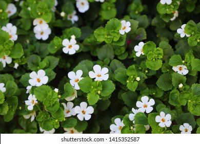 "Bacopa monnieri, herb Bacopa is a medicinal herb used in Ayurveda, also known as ""Brahmi"", a herbal memory"