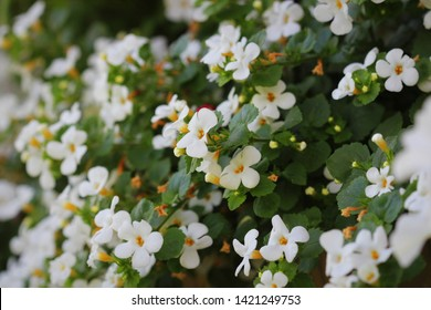 "Bacopa monnieri, herb Bacopa is a medicinal herb used in Ayurveda, also known as ""Brahmi"", a herbal memory ."