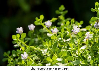 "Bacopa monnieri, herb Bacopa is a medicinal herb used in Ayurveda, where it is also known as ""Brahmi"", a herbal memory. Can slow the deterioration of brain cells."