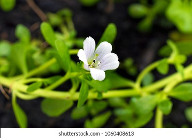 Bacopa monnieri herb plant and flower, known from Ayurveda as Brahmi. Bacopa monnieri herb is in ayurveda used to support brain health and cognitive functions.
