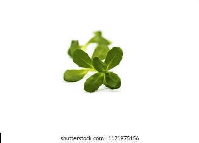 Bacopa monnieri herb plant and flower, known from Ayurveda as Brahmi. Bacopa monnieri herb is in ayurveda used to support brain health and cognitive functions. Herb is isolated on a white background.