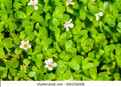 Bacopa monnieri (Indian pennywort, brahmi, Dwarf bacopa) ; green and succulent plant, oblong & thick leaves on the stem. The small flowers, actinomorphic and white, with five petals. medicinal plant.