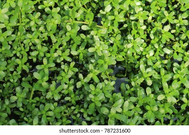 Bacopa monnieri is a perennial, creeping herb native to the wetlands of southern and Eastern India, Australia, Europe, Africa, Asia, and North and South America. Bacopa is a medicinal herb used in
