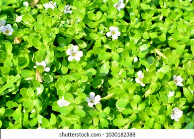 Bacopa monnieri Plant in the damp. Big boob Grabbing on the floor and holding up. Single, oval, narrow base, wide, straight edge, smooth, single flowers out. The petals are white or indigo.