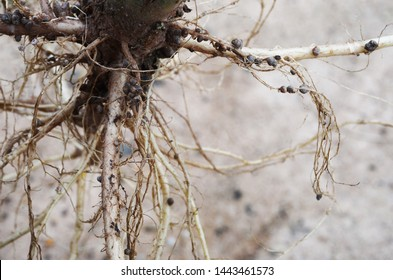 Bacteria in noduled root fixed nitrogen in air to nutriant in root tissue for plant.