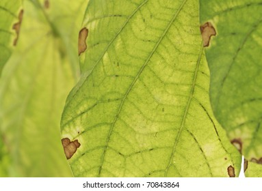 bacterial diseases the leaf