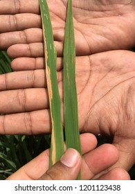 Bacterial leaf blight and bacterial leaf streak symptom in rice