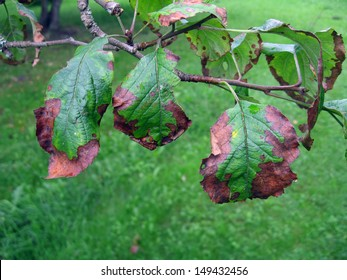 Bacterial scorch or fire blight on apple tree