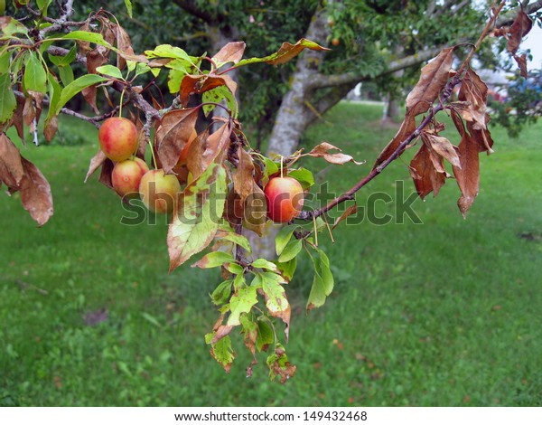 Bacterial scorch or fire blight on plum tree