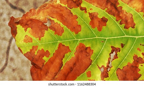 bacterial spots leaves surface, blight disease from insect pests in field, damage and are characterized by wilting, scab, moldy coatings, rusts, blotches and rotted tissue, close up full single leaf
