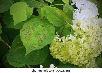 Bacterial spots on the Hydrangea leaves, plant disease