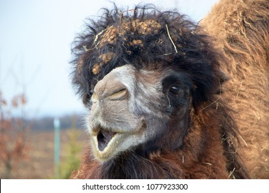 The Bactrian camel, Camelus bactrianus, large, even-toed ungulate native to the steppes of Central Asia. The Bactrian camel has two humps on its back, in contrast to the single-humped dromedary