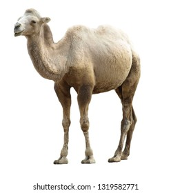 The Bactrian camel (Camelus bactrianus) at the zoo. Separated picture