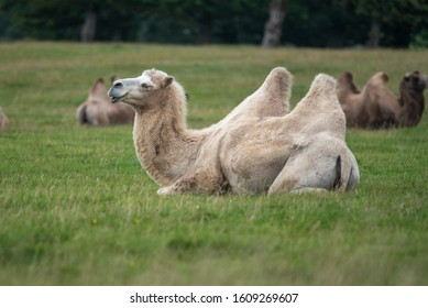 A bactrian camel grazes on the grass