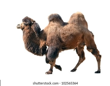 Bactrian camel isolated on white background