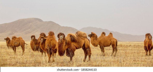 The Bactrian camel, also known as the Mongolian camel, is a large even-toed ungulate native to the steppes of Central Asia. It has two humps on its back, in contrast to the single