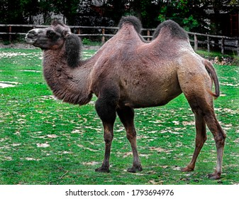 Bactrian camel on the lawn. Latin name - Camelus bactrianus