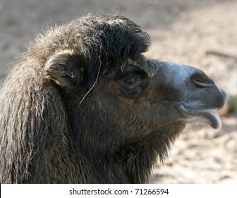 Bactrian Camel Profile