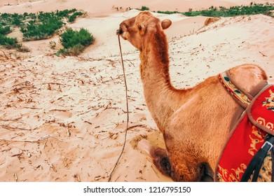Bactrian camel resting on Mongol Els Sand Dunes in Uvurkhangai Aimag (Province) west of Ulaanbaatar