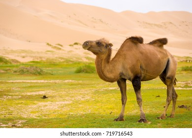 A bactrian camel with sagging humps indicating poor health walking at the Khongor Els sand dune in the Gobi Desert of southern Mongolia