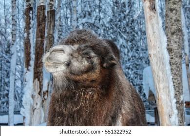 Bactrian camel in snowy forest