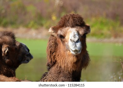 Bactrian camel staring with disdain