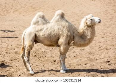 bactrian camel in taklamakan desert, xinjiang china