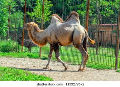 Bactrian camel in zoo