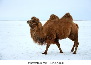 Bactrian camels (Camelus bactrianus) in winter. The Bactrian camel is a large, even-toed ungulate native to the steppes of Central Asia.