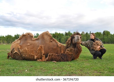 Bactrian camels during molting. Gathering wool on a farm