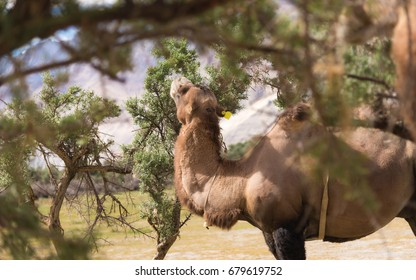 Bactrian Camels on the Nubra Valley. Ladakh. India