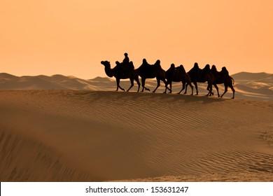 Bactrian Camels at sunset, in Gobi Desert, Mongolia